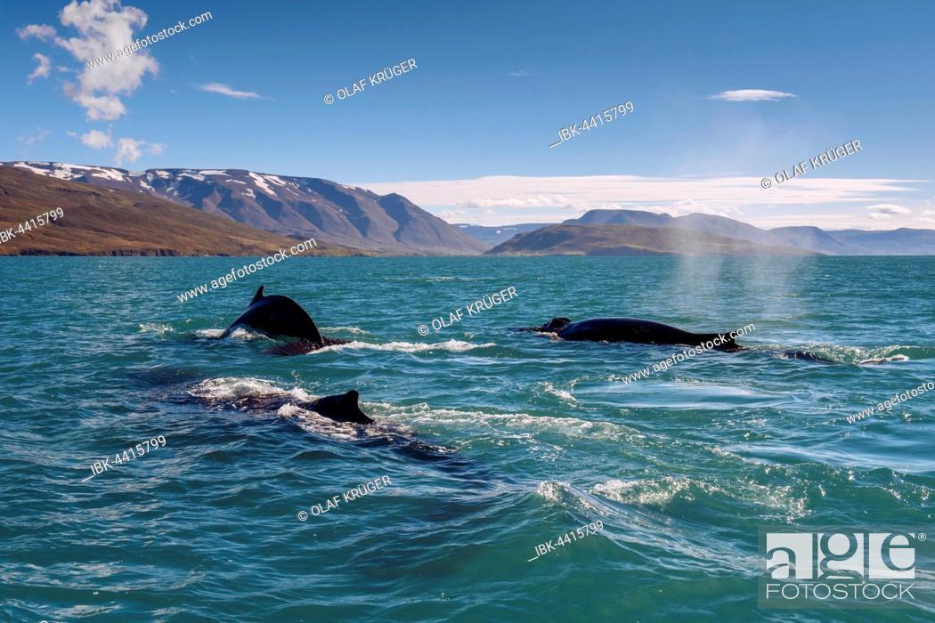 Imagen: Humpback whales (Megaptera novaeangliae) swimming, Eyjafjörður, Iceland.