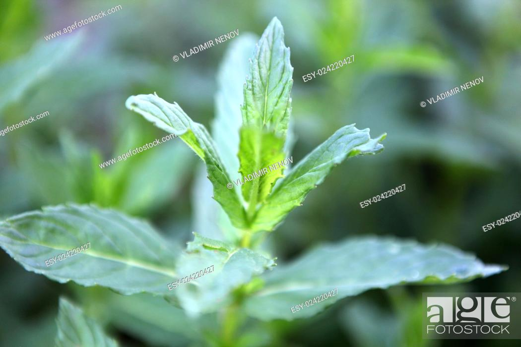 Stock Photo: Closeup picture of fresh spearmint leaves.
