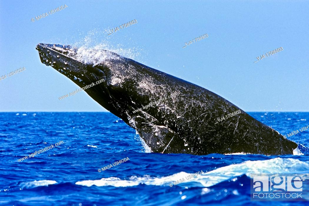 Stock Photo: humpback whale, Megaptera novaeangliae, in competitive group, breaching, head-lunging, jaw clapping or chin slapping, Hawaii, USA, Pacific Ocean.