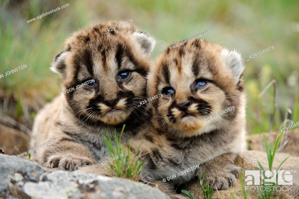 Stock Photo: Mountain lion Felis concolor kittens.