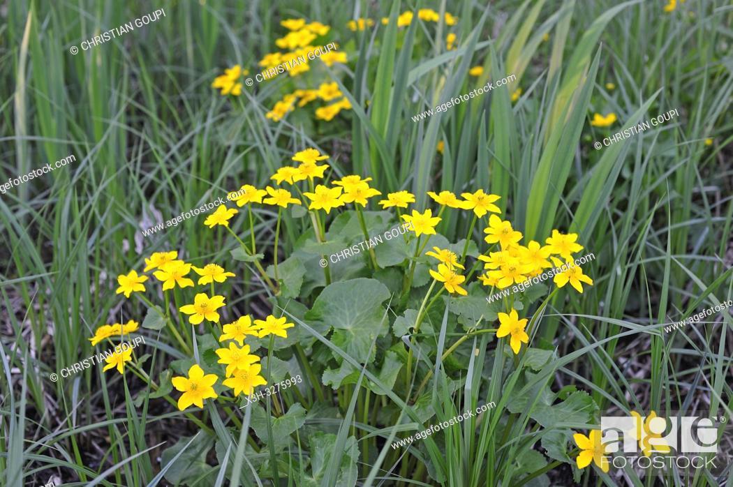 Imagen: buttercup (Ranunculus), Eure-et-Loir department, Centre-Val de Loire region, France, Europe.