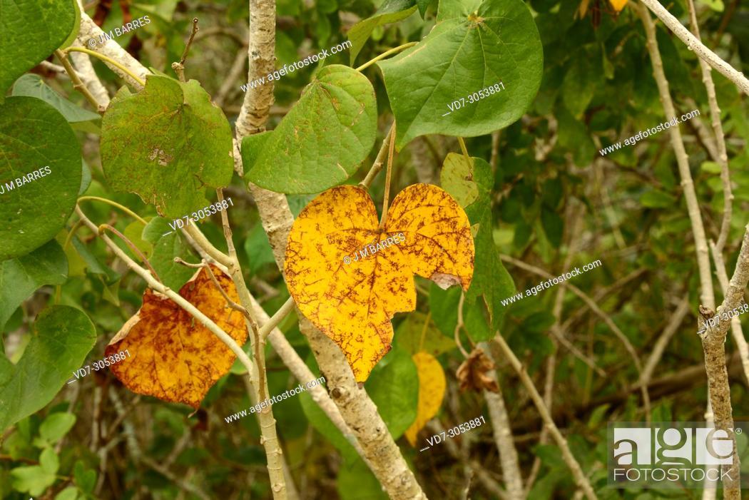 Sea Hibiscus Or Cottonwood Hibiscus Talipariti Tiliaceum