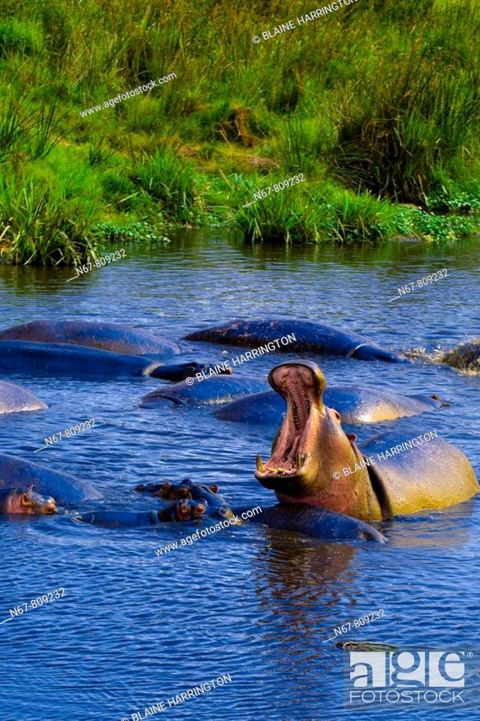 Stock Photo: A yawning hippo in a pond in the Ngorongoro Crater, Ngorongoro Conservation Area, Tanzania.