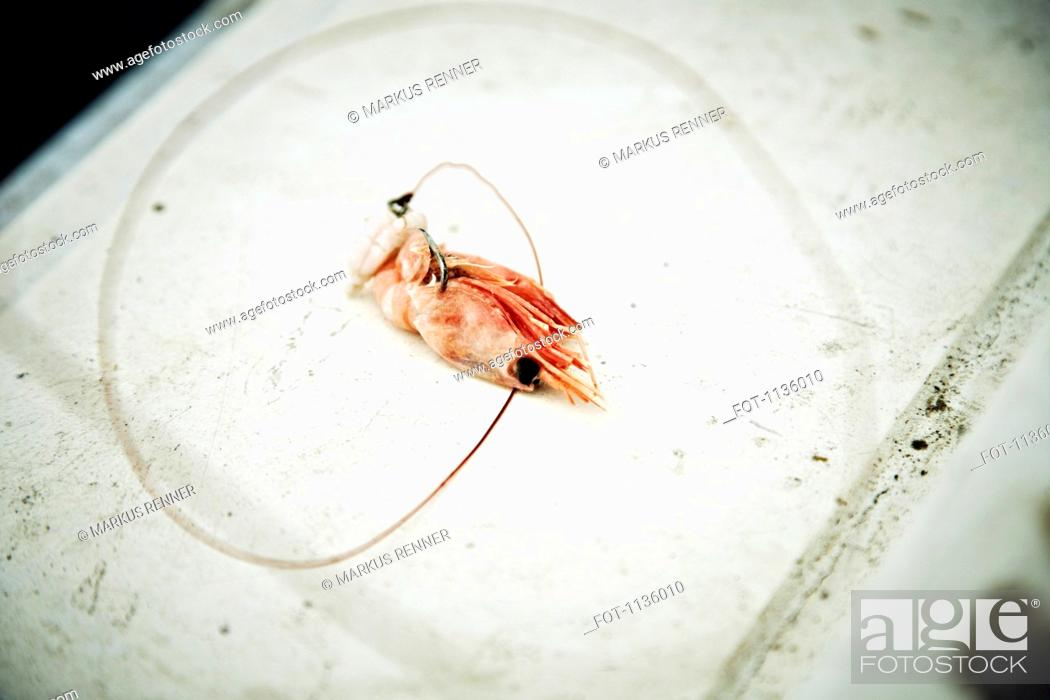 Stock Photo: A shrimp with a fishing hook through it used as bait, Avacha Bay, Russia.