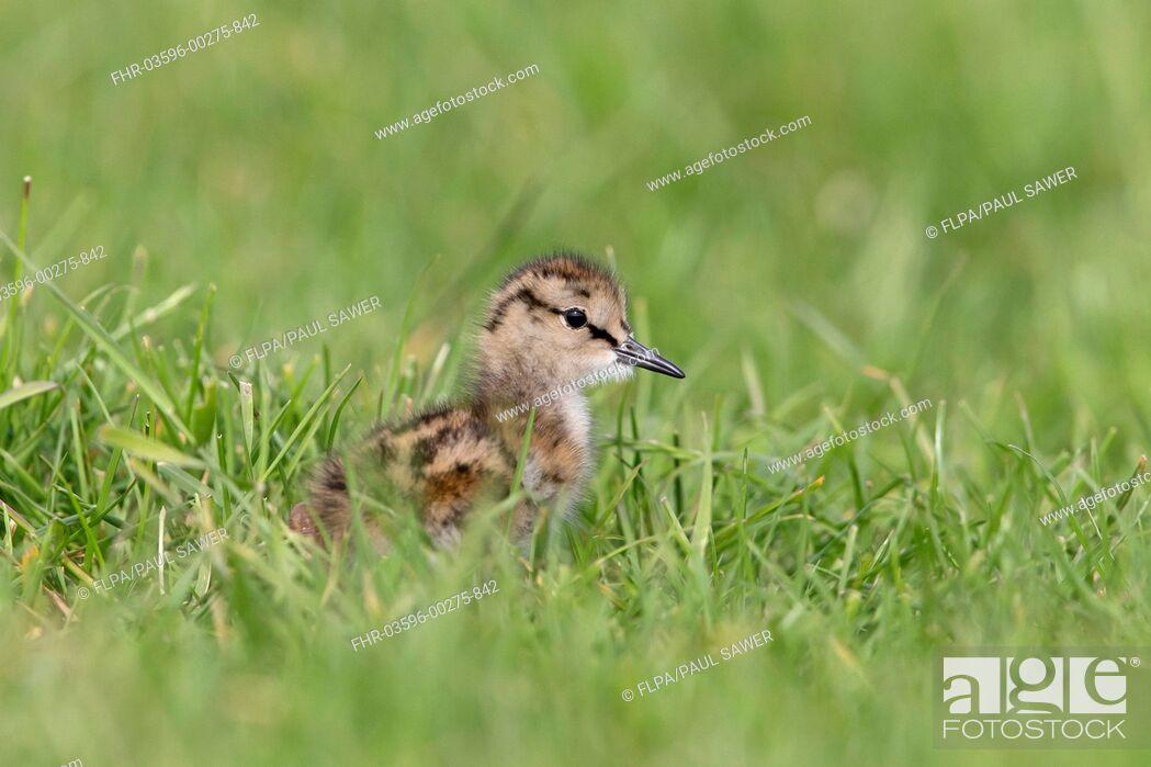 Stock Photo: Common Redshank (Tringa totanus) chick, standing in grass on grazing marsh, Suffolk, England, June.