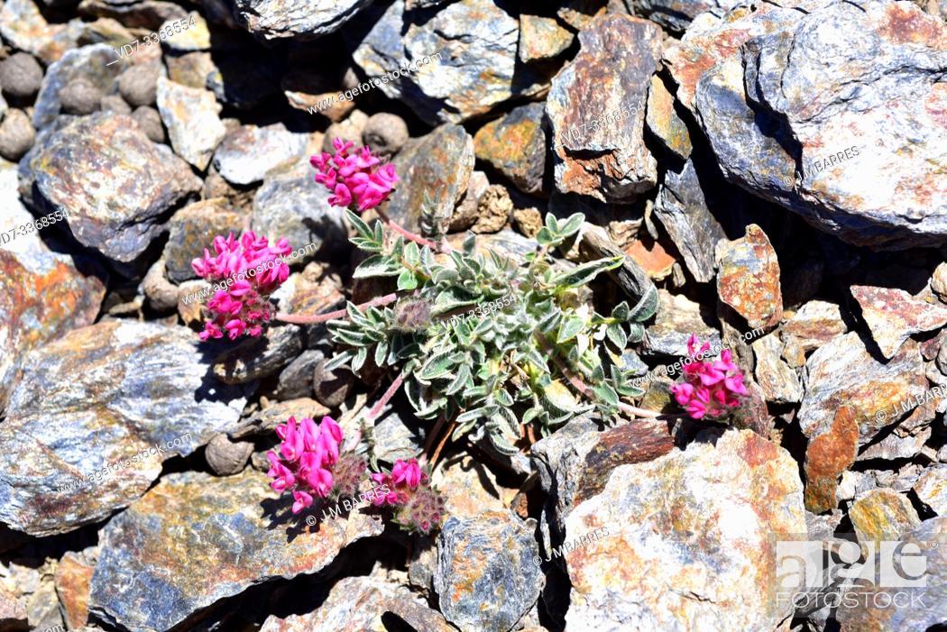 Stock Photo: Anthyllis vulneraria pseudoarundana is a perennial herb endemic to Sierra Nevada (Granada, Spain) and Atlas Mountains (Morocco).