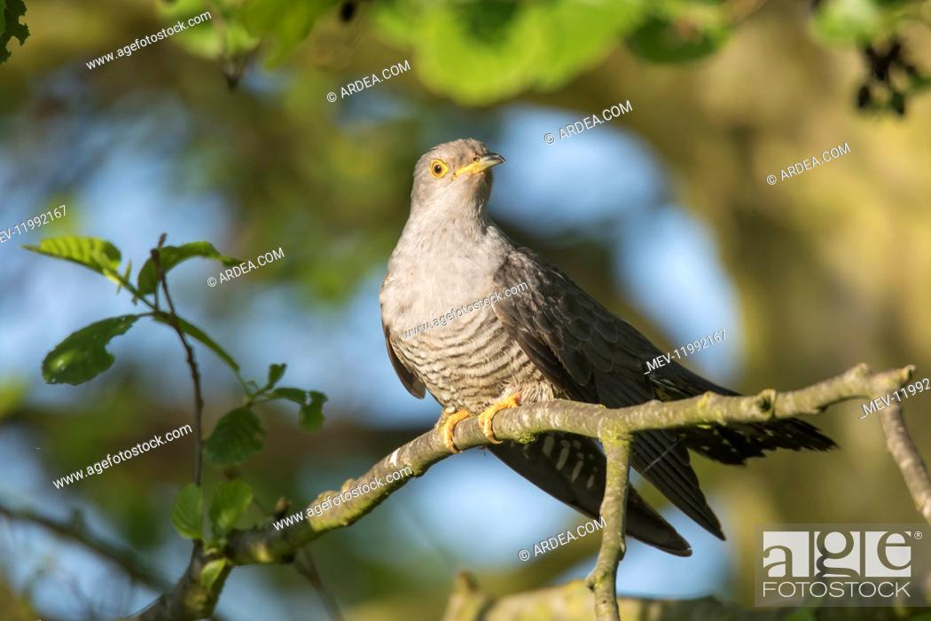 Stock Photo: Cuckoo - adult bird perched on branch - Germany.