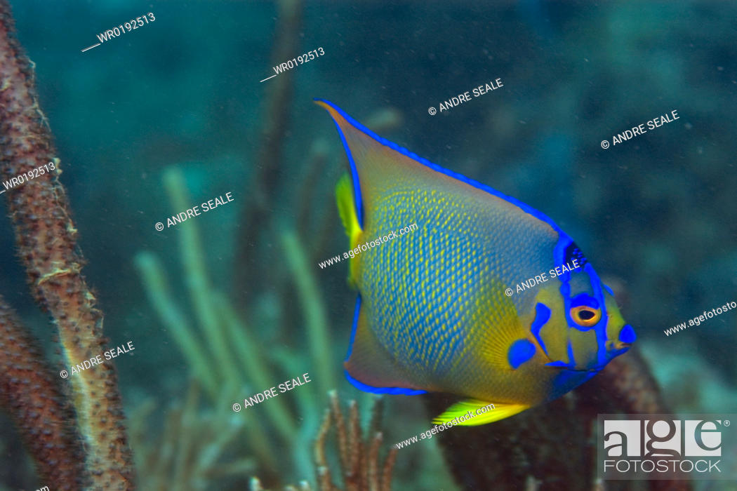 Stock Photo: Queen angelfish, Holacanthus ciliaris, juvenile, Ilha Escalvada, Guarapari, Espírito Santo, Brazil.