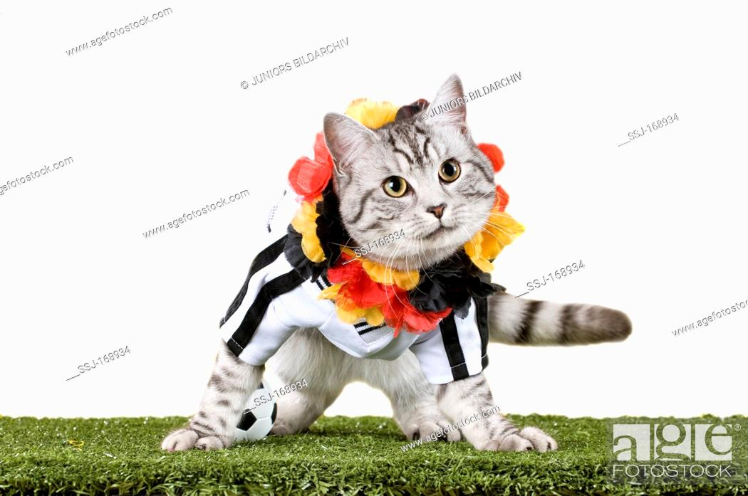 6d4b3a296 Stock Photo - Domestic Cat. Tabby adult dressed in the jersey of the German  National Football Team with garland in the Germen national colours