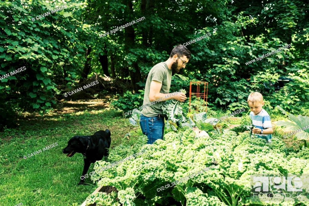 Imagen: A millennial father and his son harvesting kale for dinner.