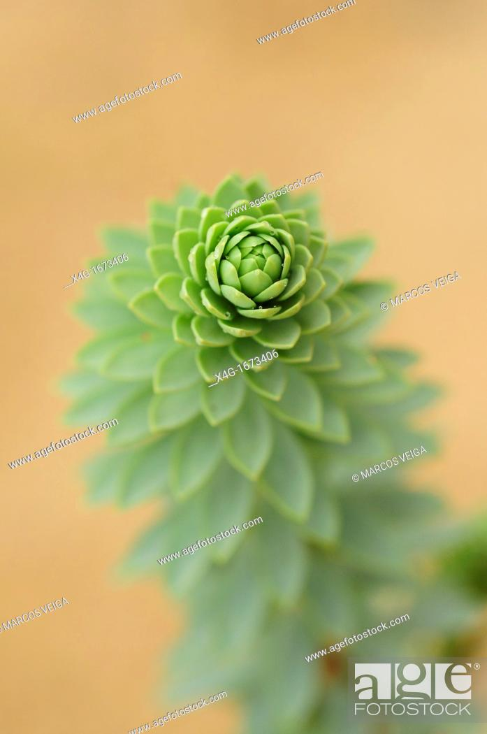 Stock Photo: Sea Spurge Euphorbia paralias.