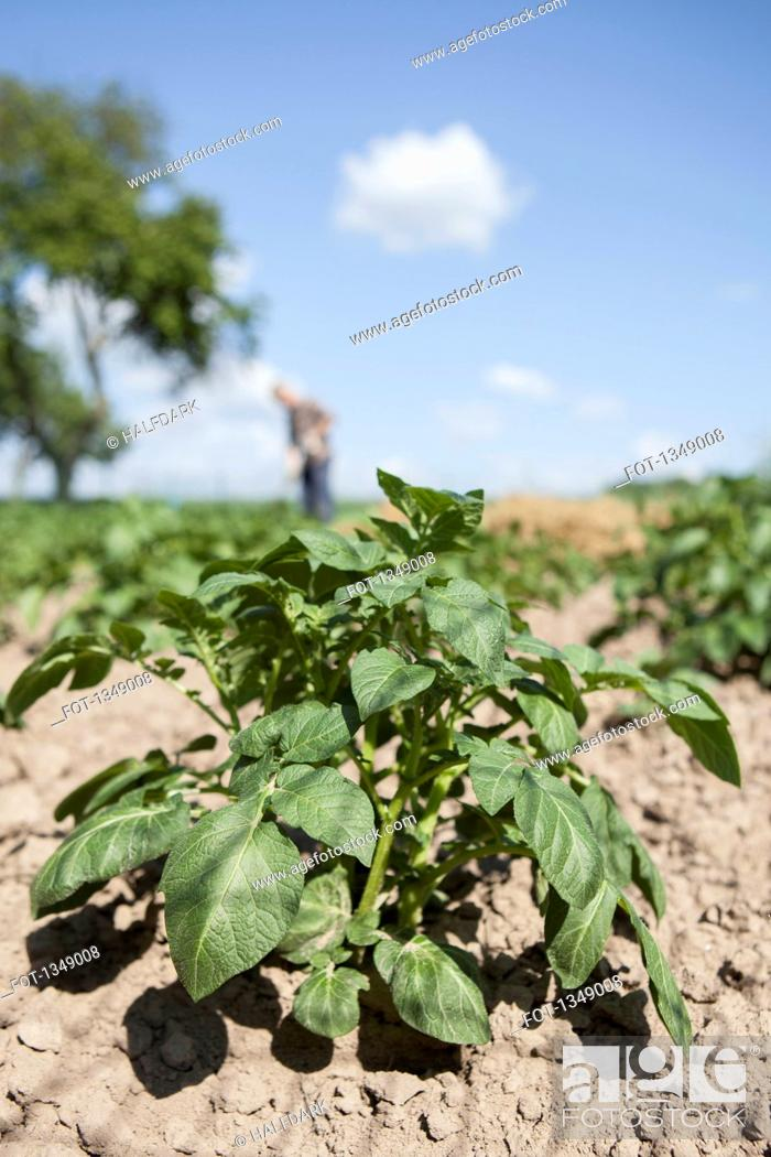 Stock Photo: Close-up of plant at community garden with man gardening in background.