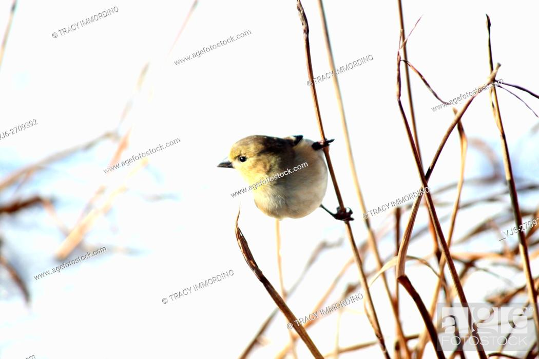 Stock Photo: Close up of an American Goldfinch, Carduelis tristis, holding on to a tall dormant plant stalk in winter in Trevor, Wisconsin, USA.