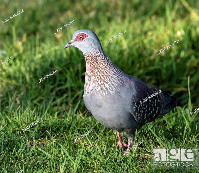 Stock Photo: Guinea pigeon (Columba guinea). Windhoek. Namibia.