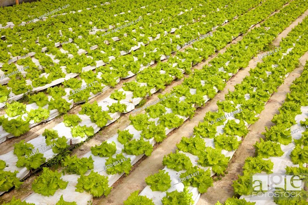 Stock Photo: Lettuces in greenhouse, Nuarbe, Azpeitia, Guipuzcoa, Basque Country, Spain.