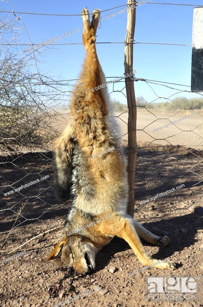 Stock Photo: A killed jackal has been hanging up the fence of a farmer as a warning for the others.