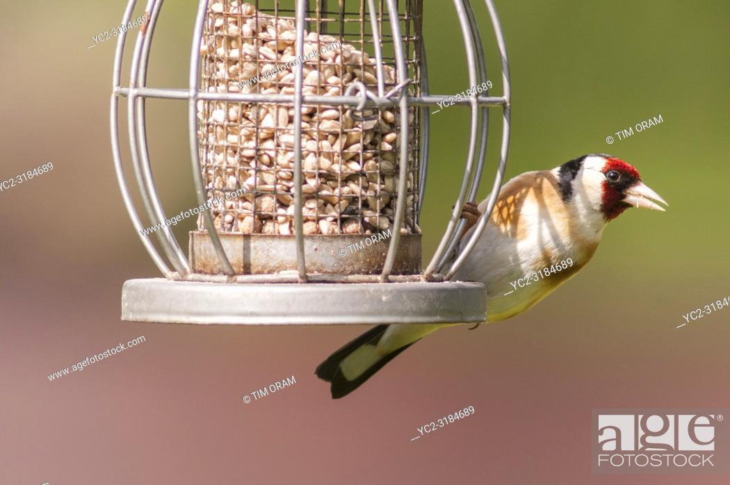 Stock Photo: A Goldfinch (Carduelis carduelis) in a Norfolk garden.