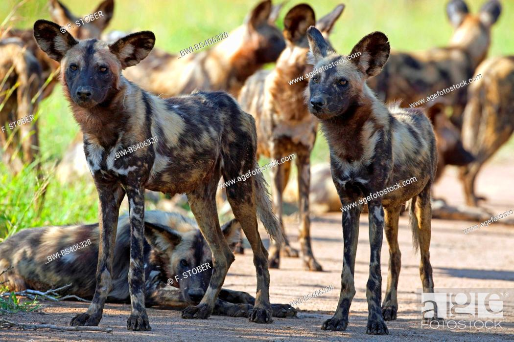 Stock Photo: African wild dog, African hunting dog, Cape hunting dog, Painted dog, Painted wolf, Painted hunting dog, Spotted dog, Ornate wolf (Lycaon pictus), pack.