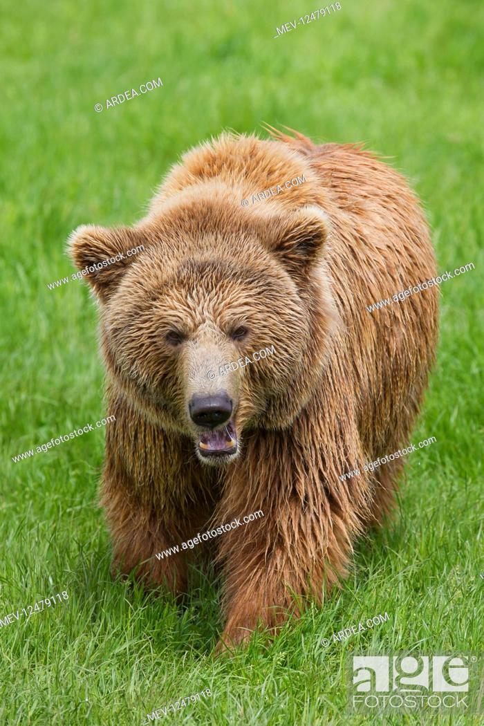 Stock Photo: European Brown Bear - adult bear - Sweden.