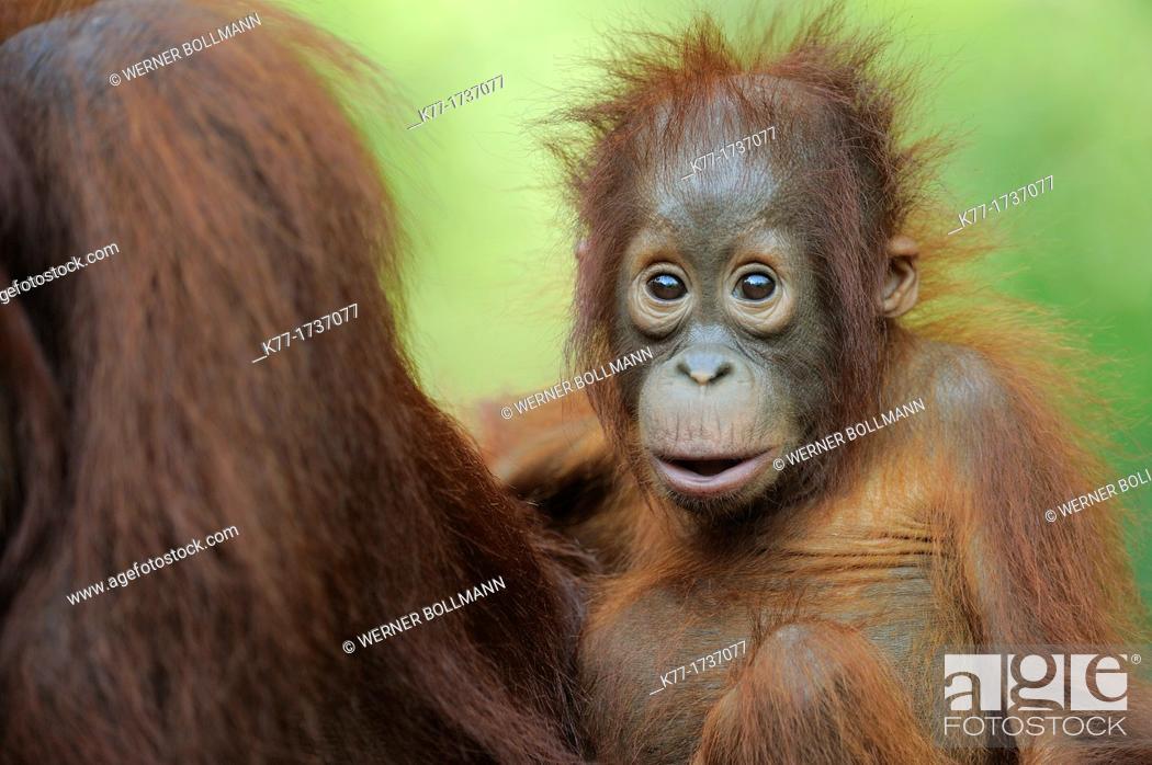 Stock Photo: Orang Utan, Baby Pongo pygmaeus, Tanjung Puting National Park, Province Kalimantan, Borneo, Indonesia.