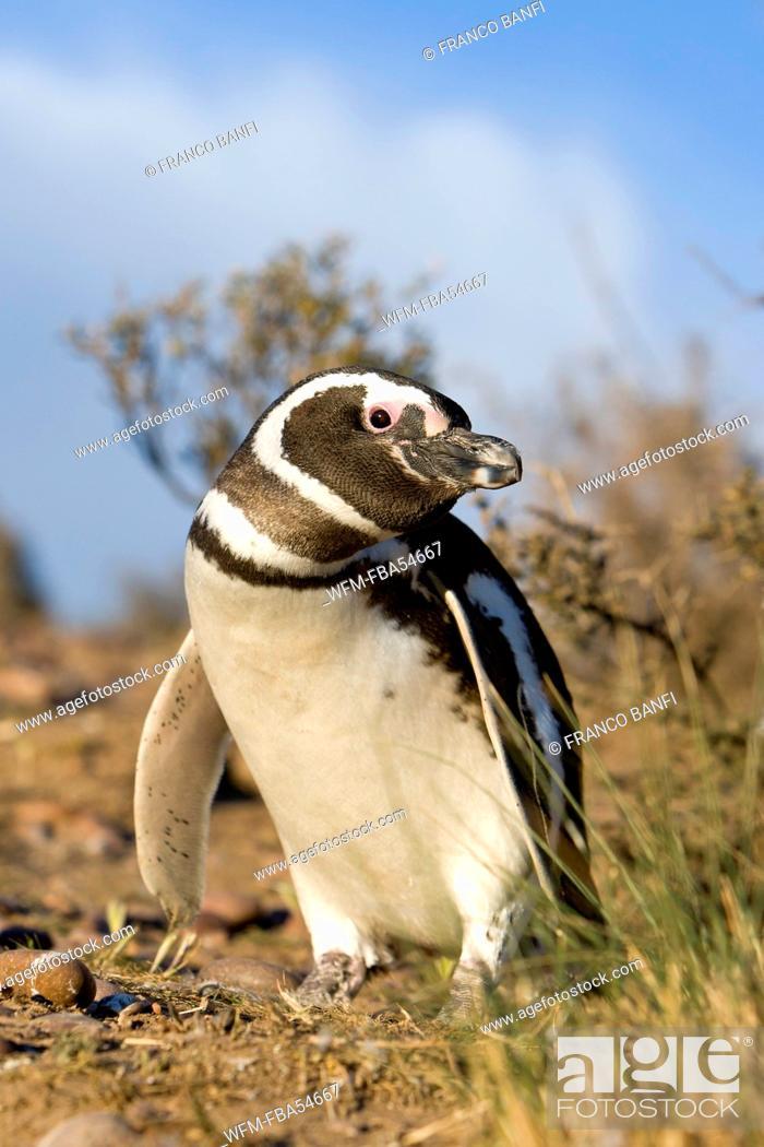 Imagen: Magellanic Penguin, Spheniscus magellanicus, Valdes Peninsula, Patagonia, Argentina.