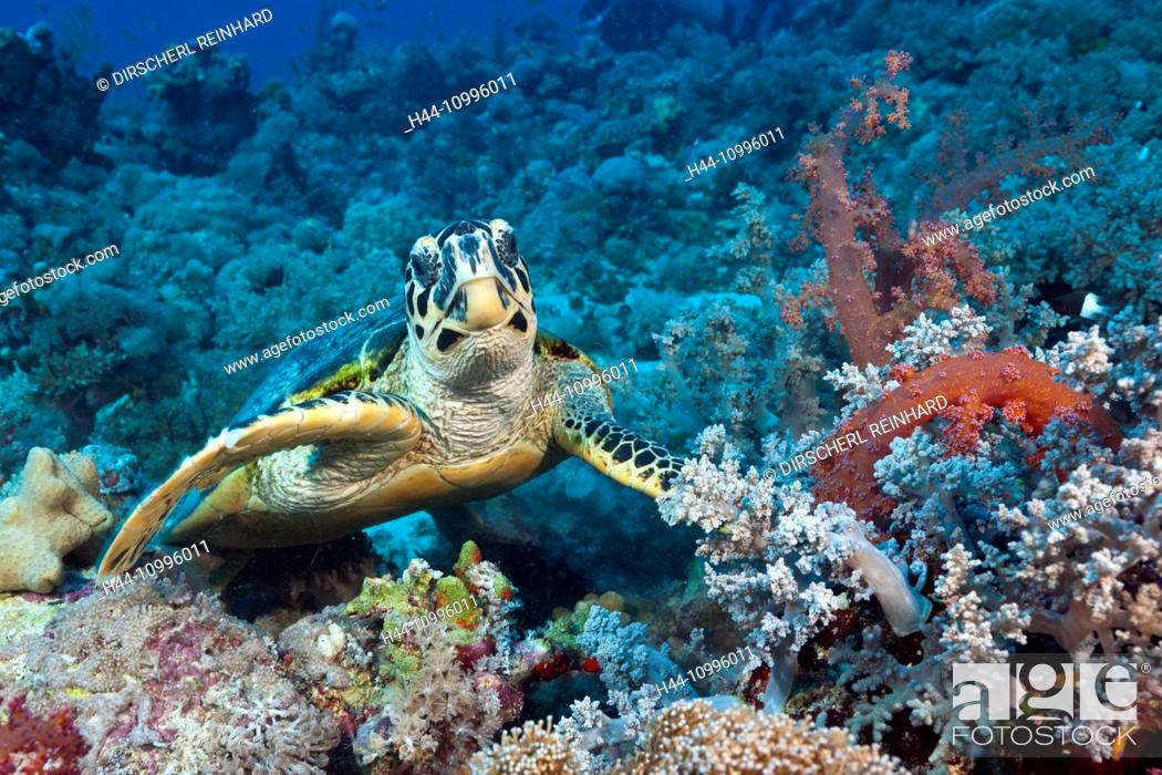 Stock Photo: Hawksbill Sea Turtle, Eretmochelys imbricata, Red Sea, Ras Mohammed, Egypt.
