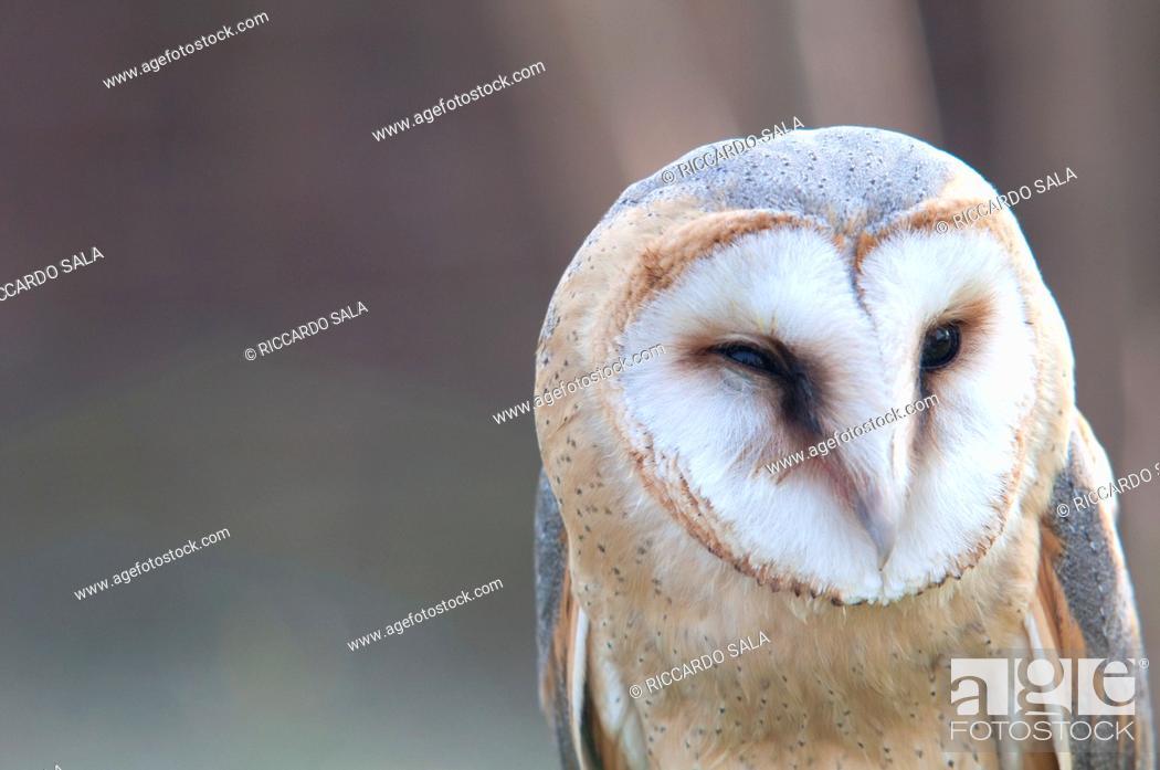 Stock Photo: Italy, Lombardy, Barn owl, Tyto Alba, in Captive.