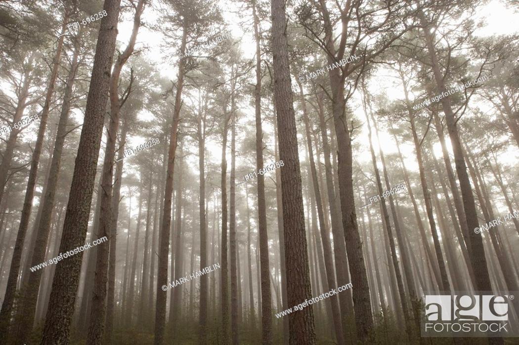 Stock Photo: Scots Pine Pinus sylvestris forest in mist, Abernethy Forest, Scotland  UK  September 2006.
