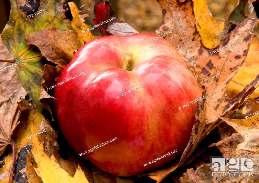 Stock Photo: IDA Red apple sitting on fallen leaves.