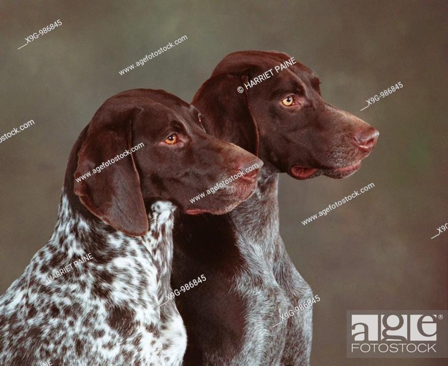 Stock Photo: German Shorthaired Pointer.