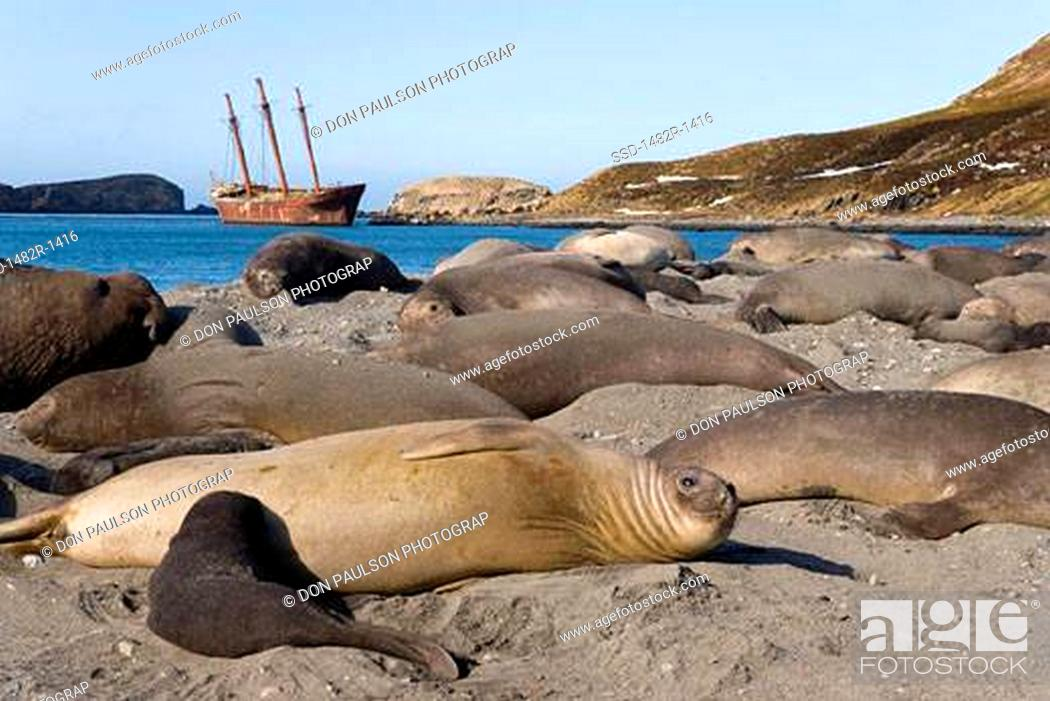 Stock Photo: Southern Elephant seals Mirounga leonina on the beach, Shipwreck Bayard, Ocean Harbour, South Georgia Island, South Sandwich Islands.
