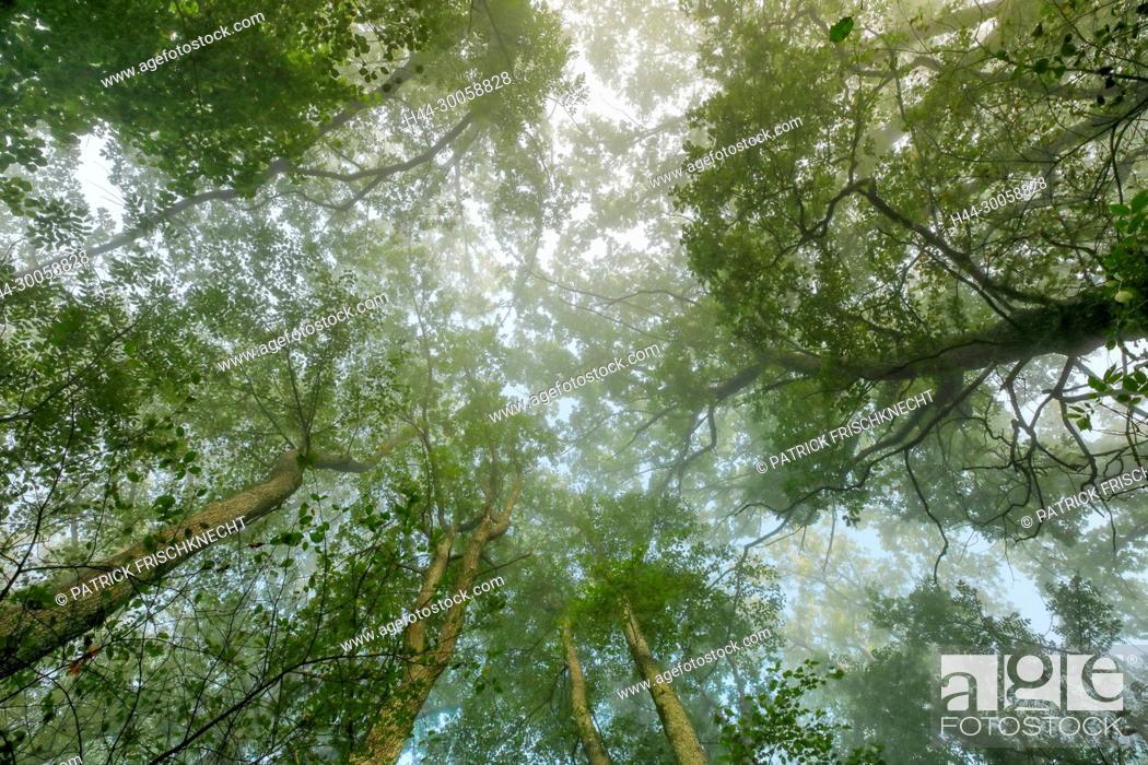 Stock Photo: Oak in the fog, Bern, Switzerland.