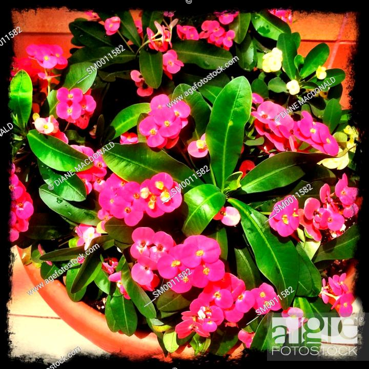 Stock Photo: A flowerpot with pink flowers.