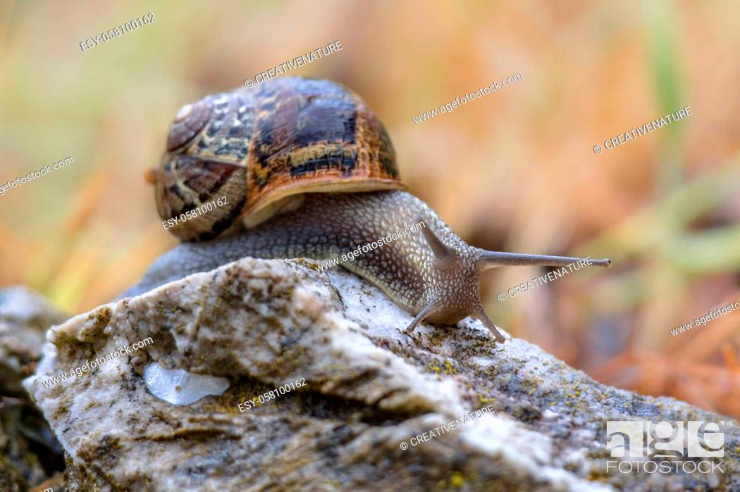 Stock Photo: Garden snail (Cornu aspersum) on a stone with bright colorful background.