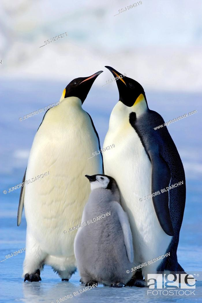 Stock Photo: Emperor Penguin (Aptenodytes forsteri). Parent birds with chick. Snow Hill Island, Antarctica.