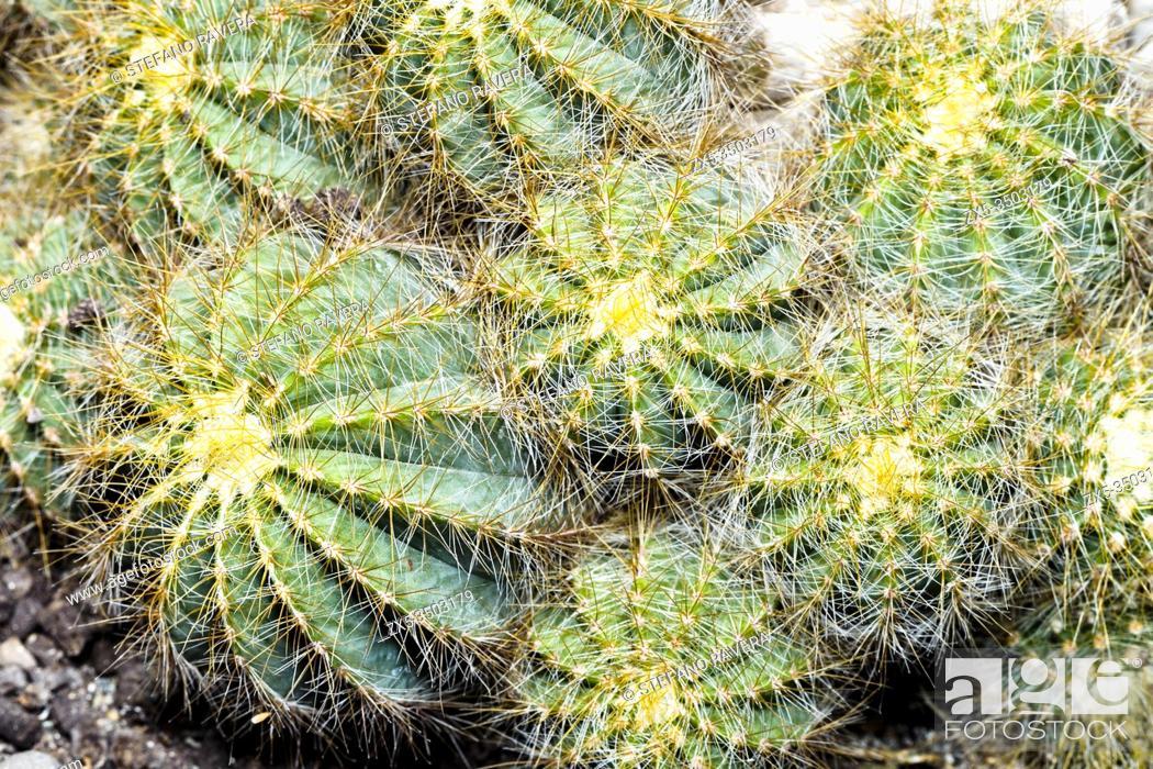Stock Photo: golden ball cactus (Echinocactus grusonii).
