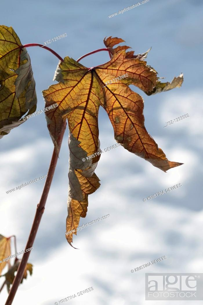 Stock Photo: Maples leaves hanging on in the Winter.
