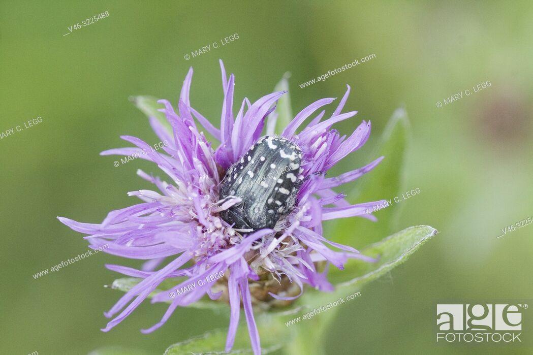 Stock Photo: Rose Chafer, Oxythyrea funesta. Large black scarab with distinctive white flecks. Size 8-12mm. Phytophagous. Polyphagous.