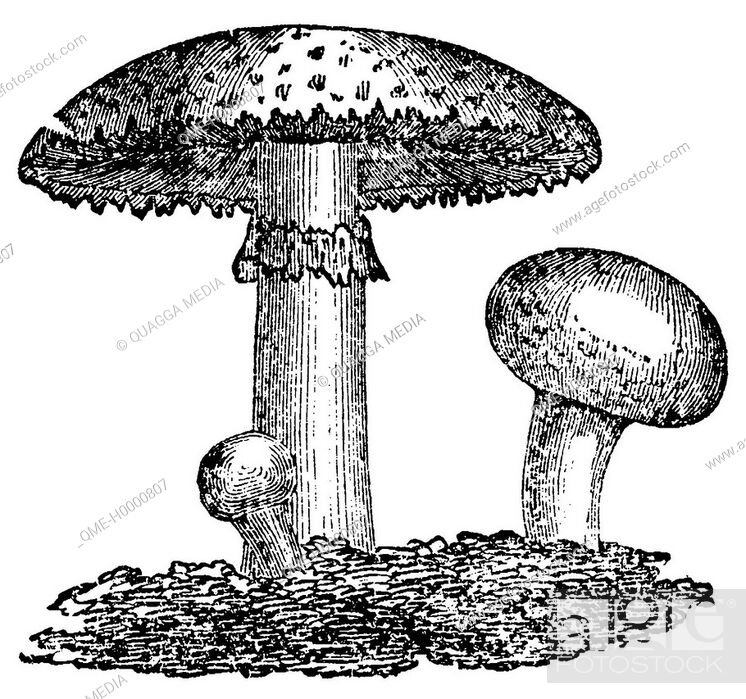 Stock Photo: White mushroom.