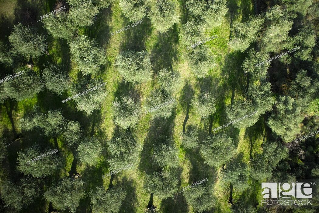 Imagen: Aerial view of an olive grove area Versilia Italy Tuscany.