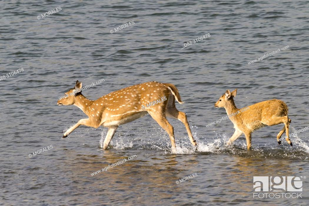 Stock Photo: Asia, India, Uttarakhand, Jim Corbett National Park, Chital or Cheetal or Chital deer, Spotted deer or Axis deer( Axis axis), running in the water.