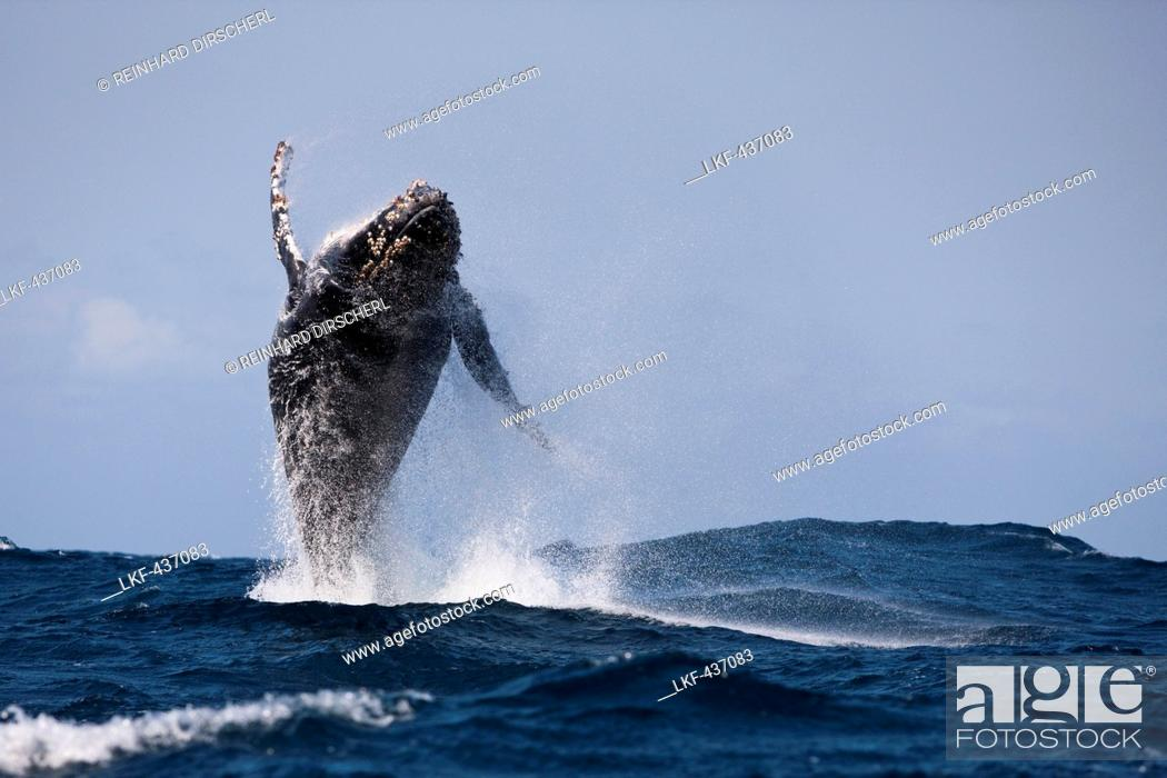 Stock Photo: Breaching Humpback Whale, Megaptera novaeangliae, Indian Ocean, Wild Coast, South Africa.