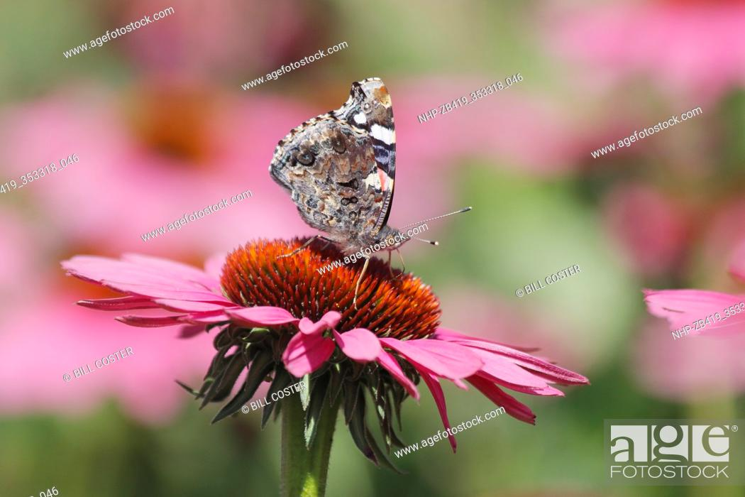 Stock Photo: Red Admiral Butterfly - feeding on Echinacea flowers Venessa atalanta Essex, UK IN001230.
