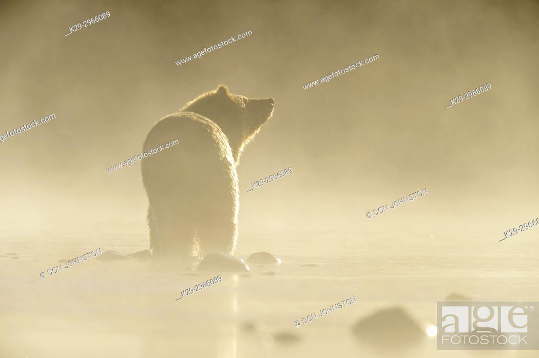 Stock Photo: Grizzly bear (Ursus arctos)- Yearling cub wading shallows of the Chilko River, watching for spawning sockeye salmon. Chilcotin Wilderness, British Columbia BC.