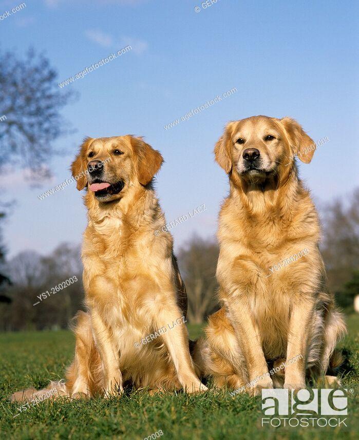 Stock Photo: Golden Retriever, Dogs sitting on Grass.
