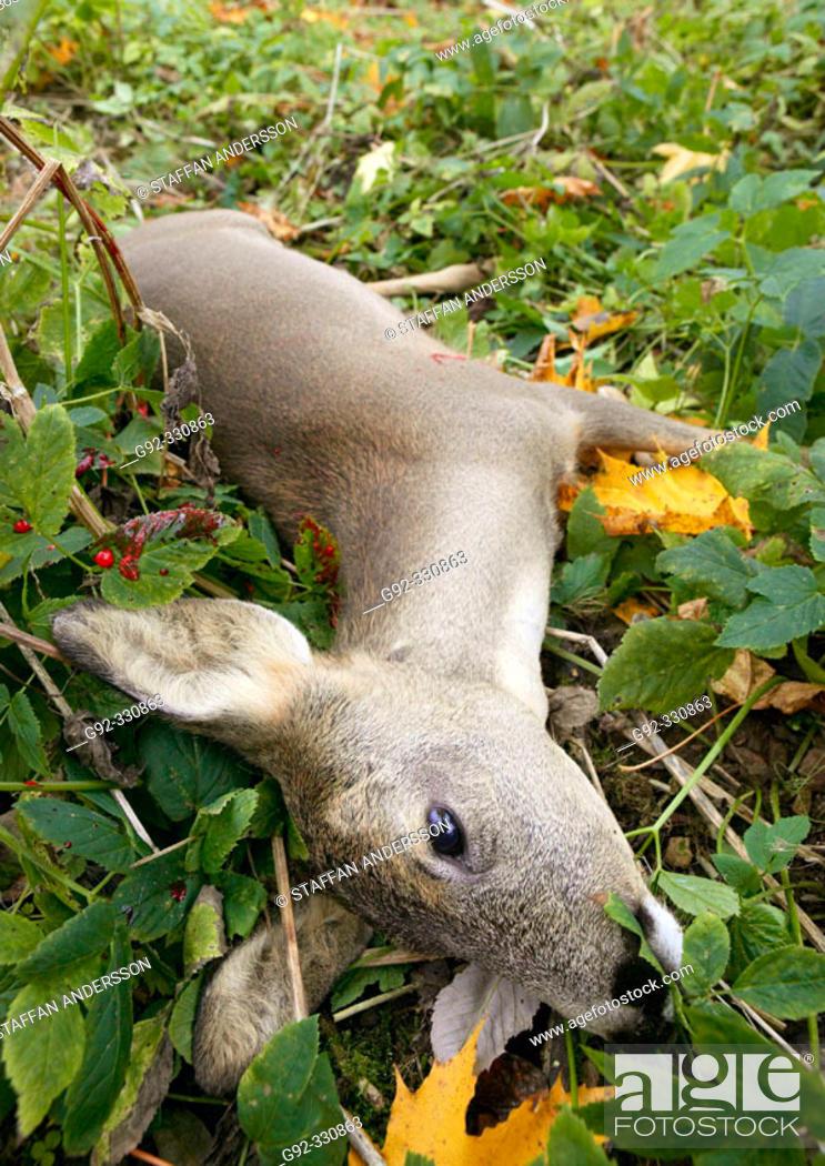 Stock Photo: Shoot deer. Skåne. Sweden.