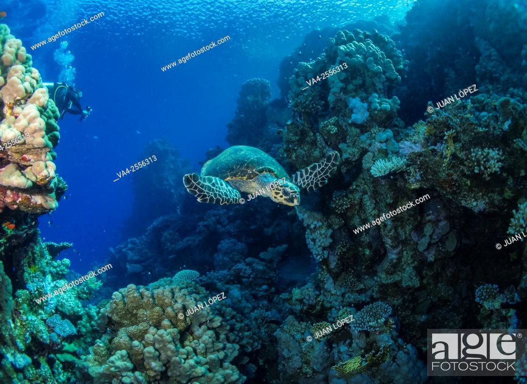 Stock Photo: Hawksbill turtle Eretmochelys imbricata. Red Sea, Sharm el-Sheikh, Egypt.