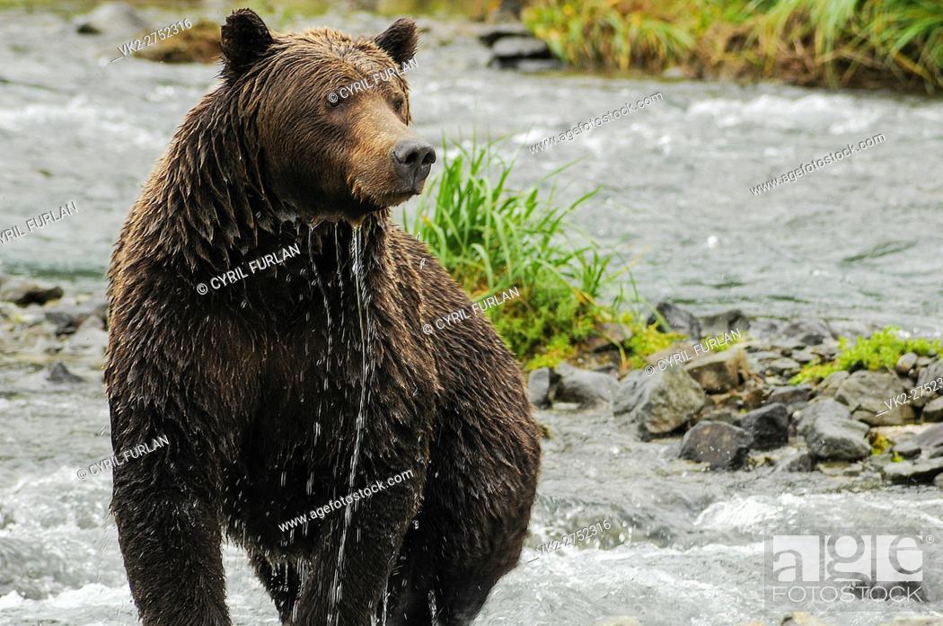 Stock Photo: Female Grizzly Shedding Water Geographic Creek, Katmai National Park Alaska.