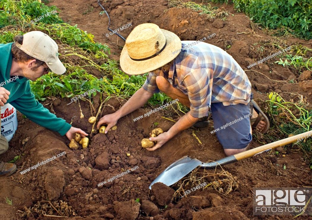 Stock Photo: Young men harvesting potatoes on small organic farm, Nevada City, California.