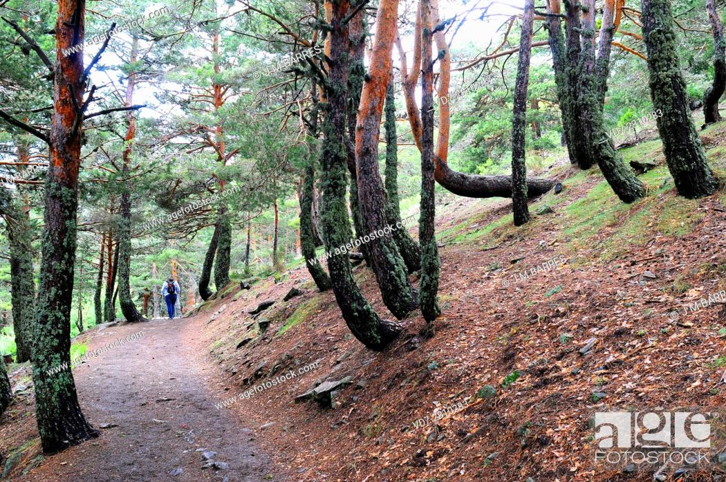 Imagen: Creep, downhill creep or soil creep is the downward progression of soil. Trees curvature testify the process. This photo was taken in Sierra de Guadarrama.